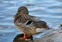 Divoká kačka na jazere v Barci / 1.0476