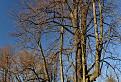 Pán strom  / 1.0714